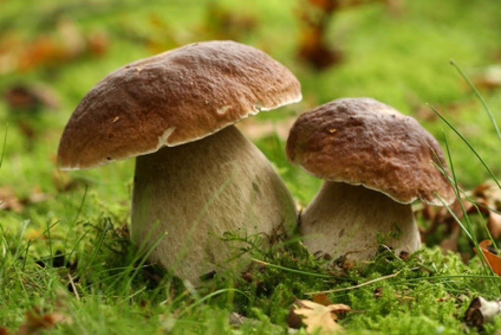 The Cèpe or porcini is one of the tastiest wild French mushrooms.  It grows in the woods and the forest in July.  If you are adventurous, you could wander off to the woods and pick you own